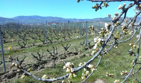 cerisier en beaujolais