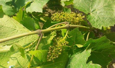 floraison beaujolais biodynamie