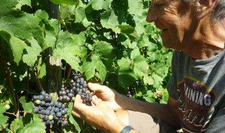 """Malgré la météo capricieuse, le raisin mûrit , nous vendangerons autour du 20 septembre pour élaborer notre vin bio beaujolais - Domaine du """"Crêt de Bine"""""""