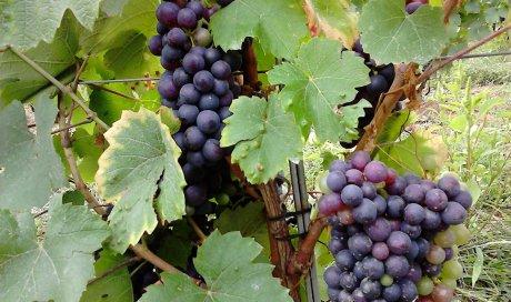 """gamay beaujolais à un mois des vendanges - Domaine du """"Crêt de Bine"""""""