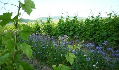 """floraison de la phacélie - Domaine du """"Crêt de Bine"""""""