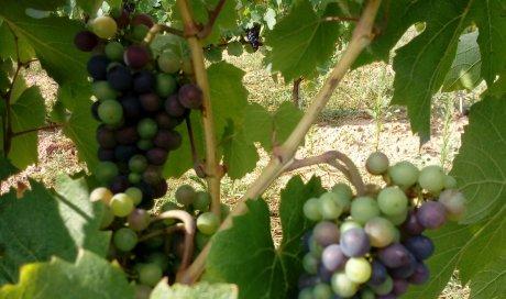 """Vigne beaujolais nouveau - Domaine du """"Crêt de Bine"""""""