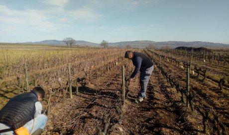 """Taille des vignes SARCEY - Domaine du """"Crêt de Bine"""""""