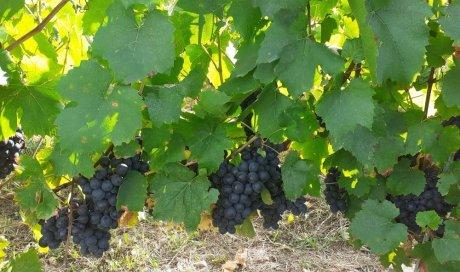 raisins beaujolais bio biodynamie