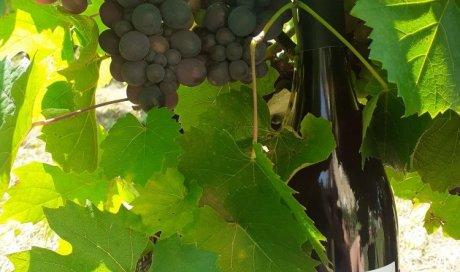 raisin vin beaujolais biodynamie