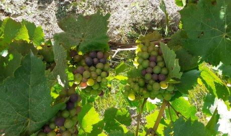 raisin gamay bio beaujolais