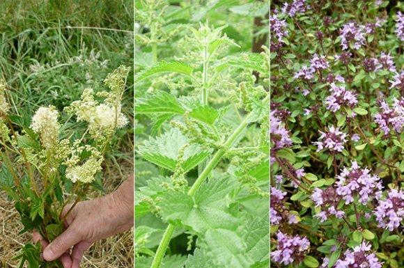 Renforcer les défenses naturelles de la vigne grâce à d'autres plantesà Sarcey